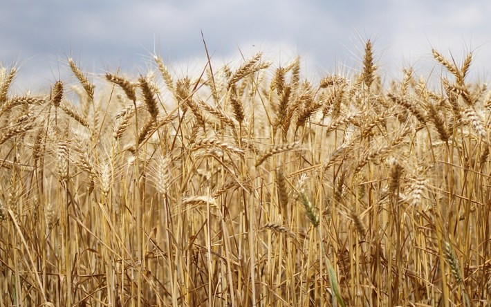 Wheat production to increase by 40% – Zamseed