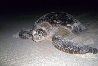 Tortue verte femelle qui rentre à l_océan la nuit