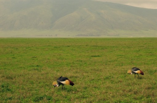 Ok. Here's a couple of the birds we saw. Note that they do have rather large manes, for cranes
