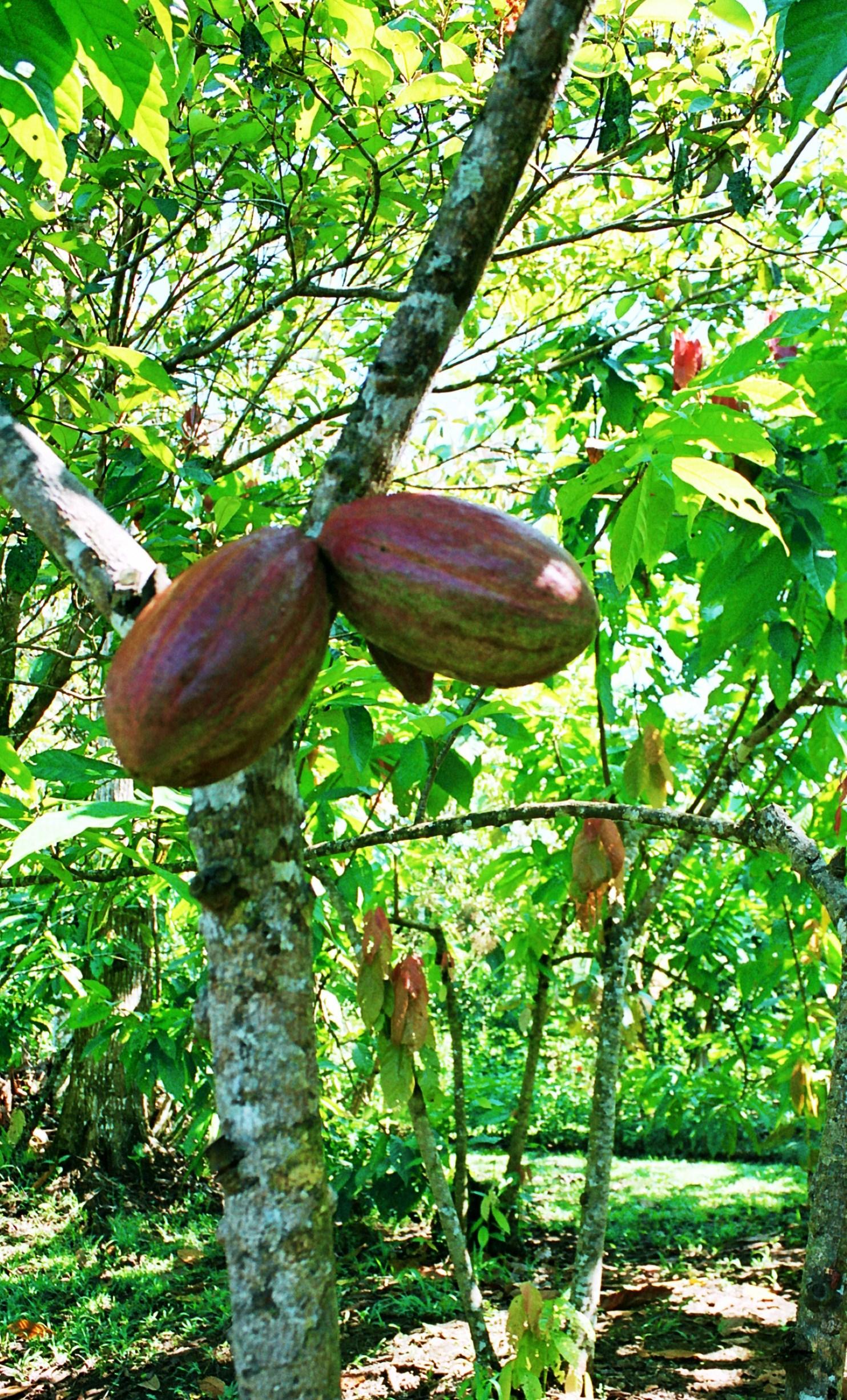 Tak roste kakao na stromě