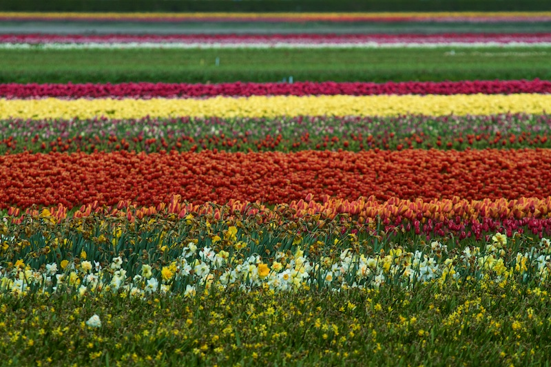 Bulb growing fields near Keukenhof