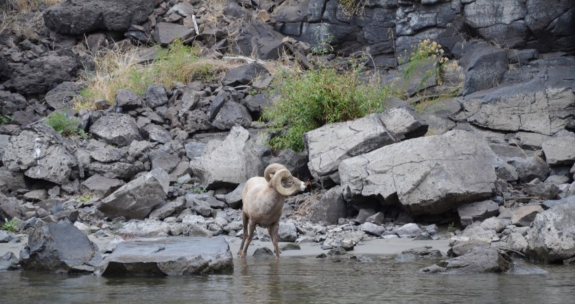 Bighorn sheep pausing for a drink in Hell's Canyon.