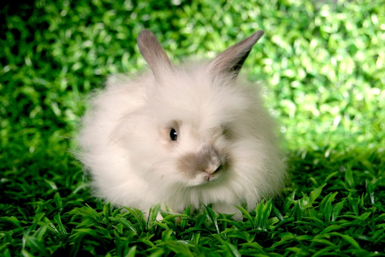 Angora-Rabbit-on-grass