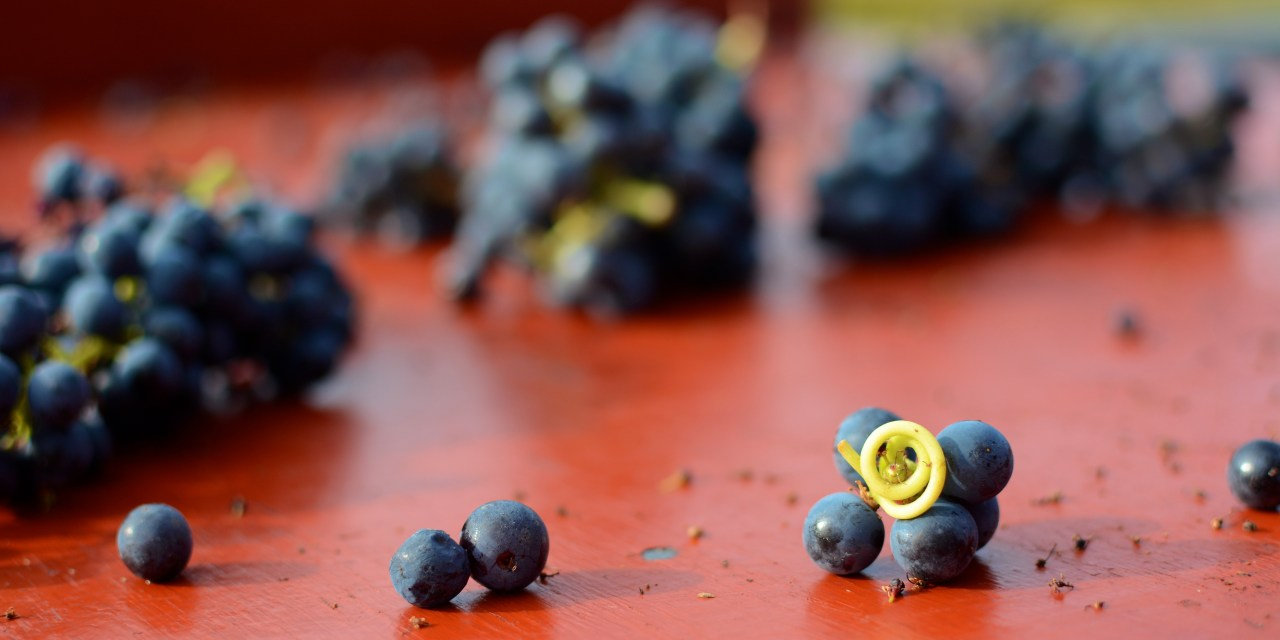 Vendanges in Bordeaux: Picking with a Purpose