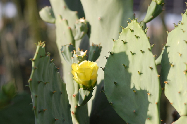 yellow-prickly-pear-cactus-blossom-1337418-639x424