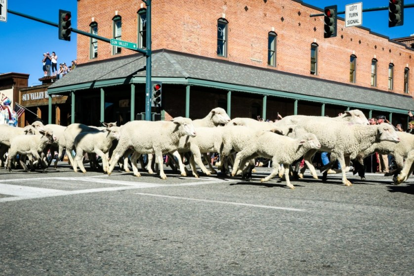The sheep running through Ketchum.