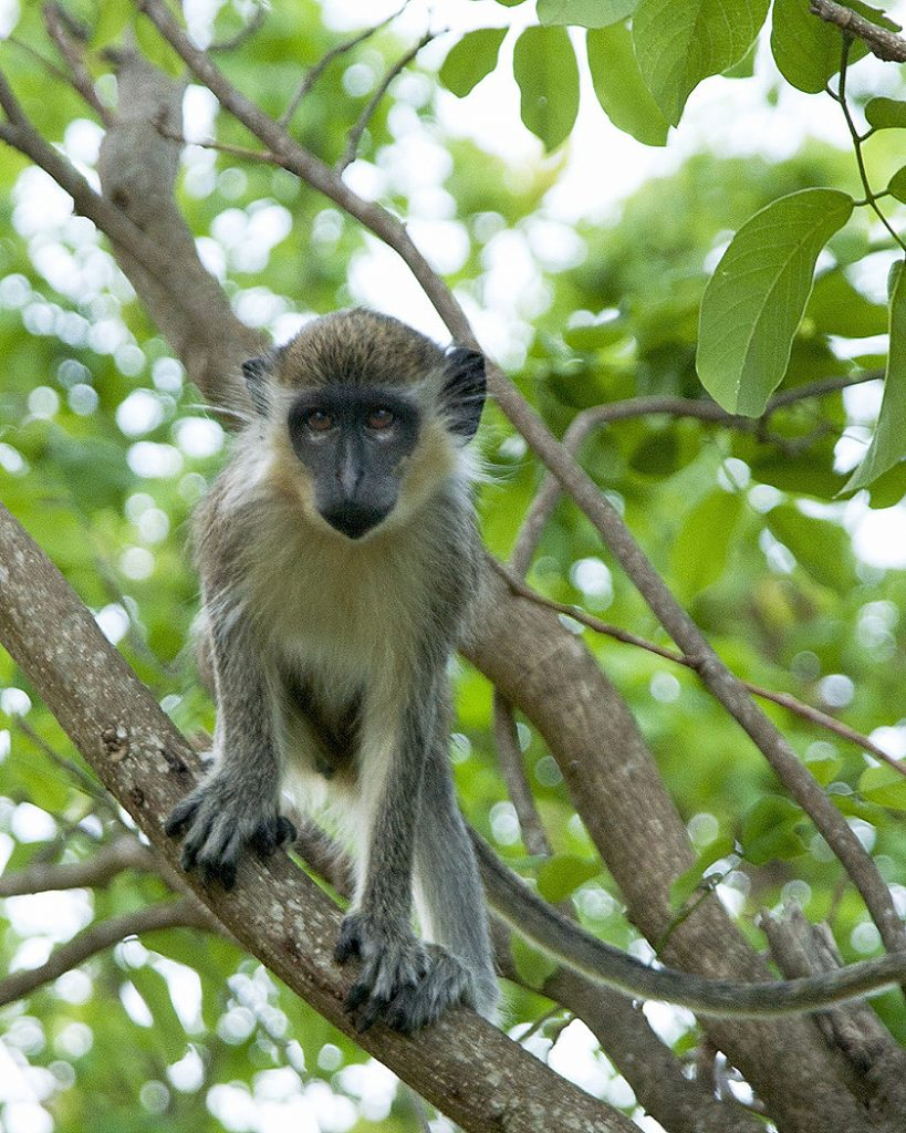 Visitors love the African green vervet monkeys