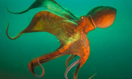 Realm of the Giant Pacific Octopus