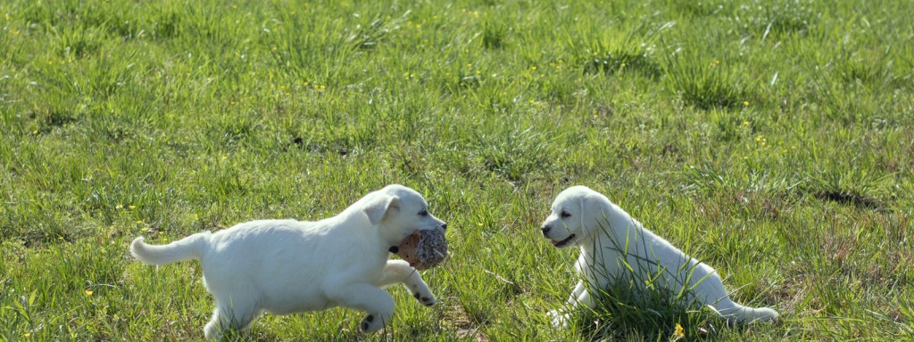 snowy pines white labs