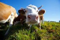 LuxeGetaways_Baiersbronn-Touristik_Cow