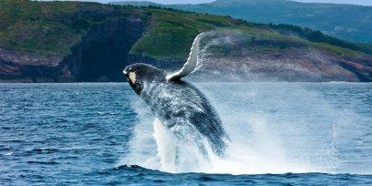 LuxeGetaways - Luxury Travel - Luxury Travel Magazine - Canada - Hurtigruten - Whale