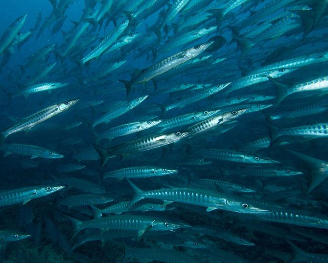 Barracuda Point A Spectacular Diving Adventure Awaits 2