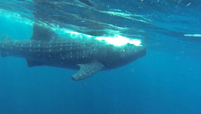 Swimming With Whale Sharks in Quintana Roo 1