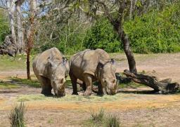 Rhinos at Animal Kingdom