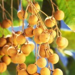 Dimocarpus-longan-fruits