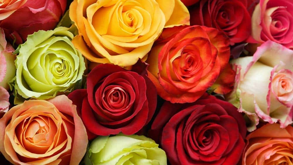 Roses-colour-signification-guide
