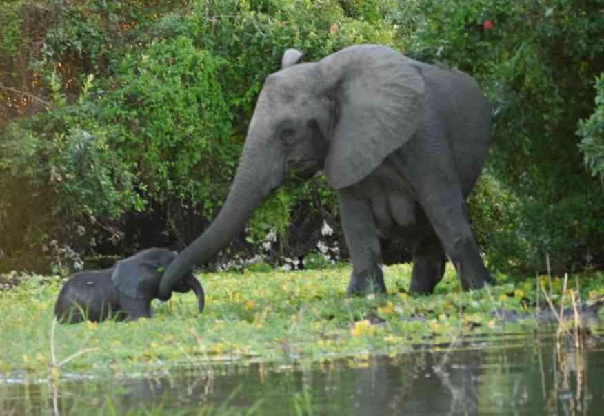 Jongomero elephants