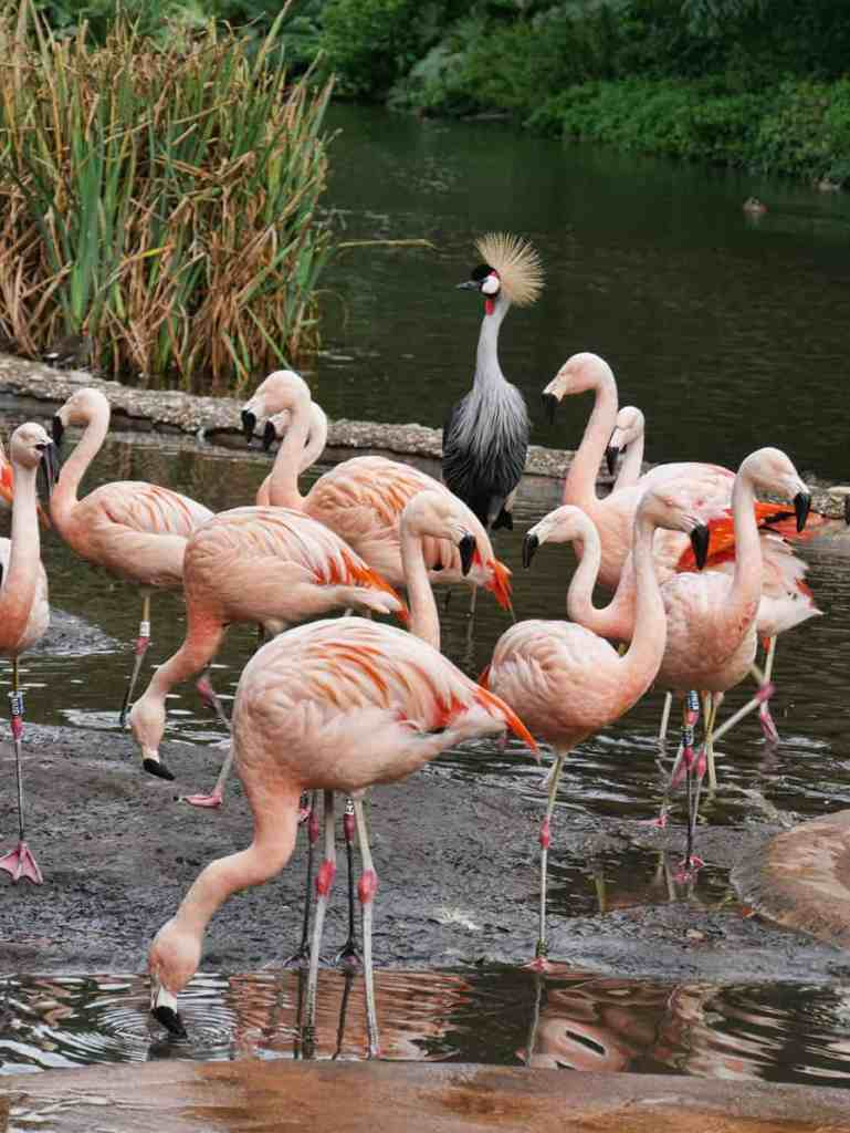 durrell_wildlife_park_flamingos