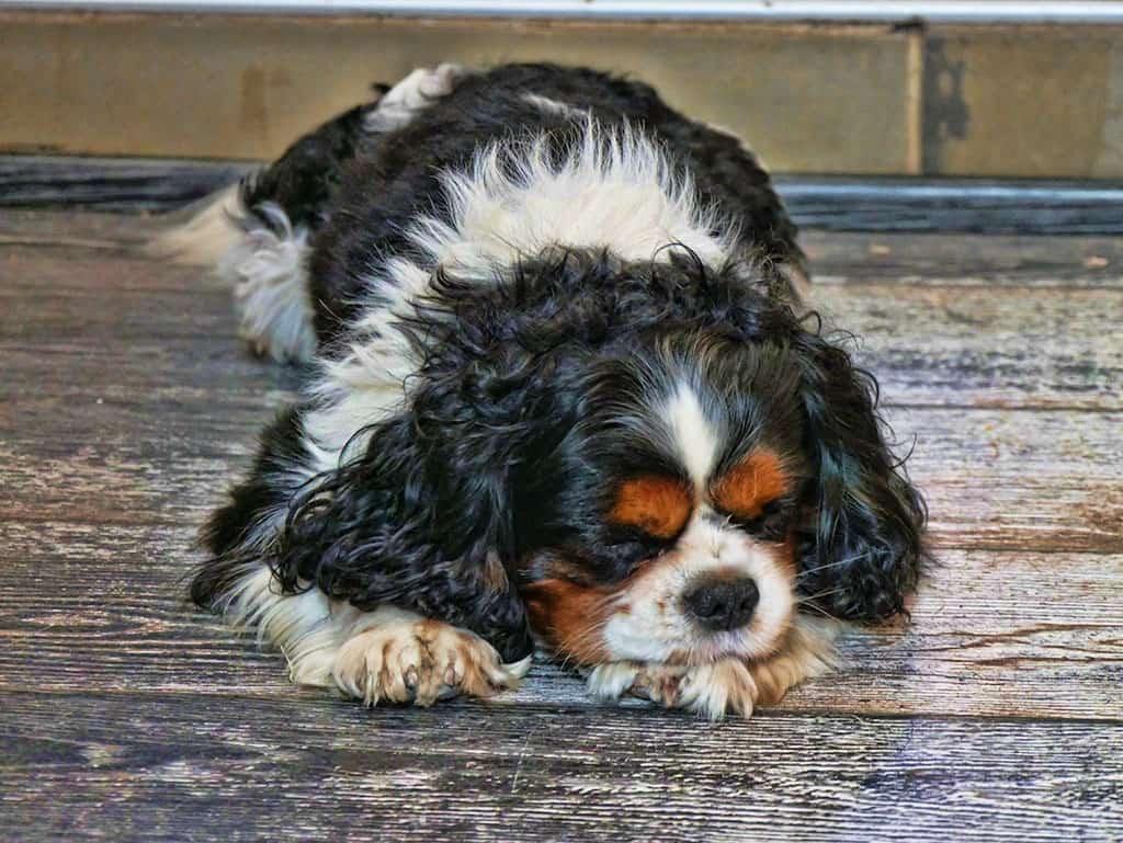 venetian_dog