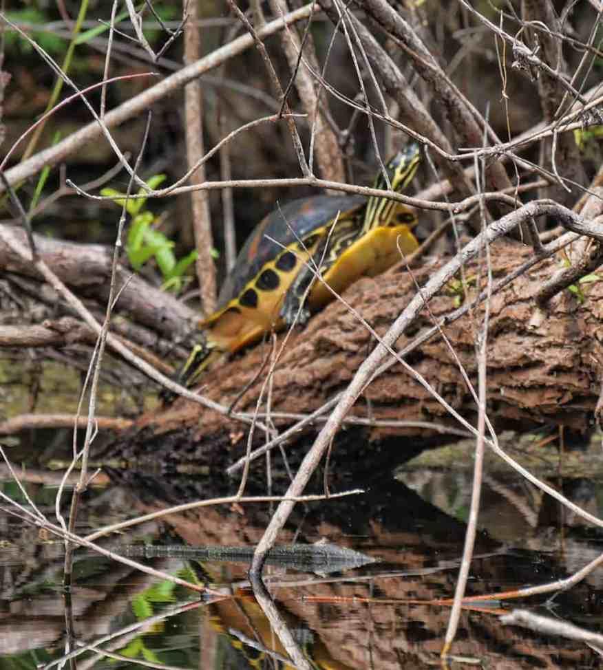 everglades-turtle
