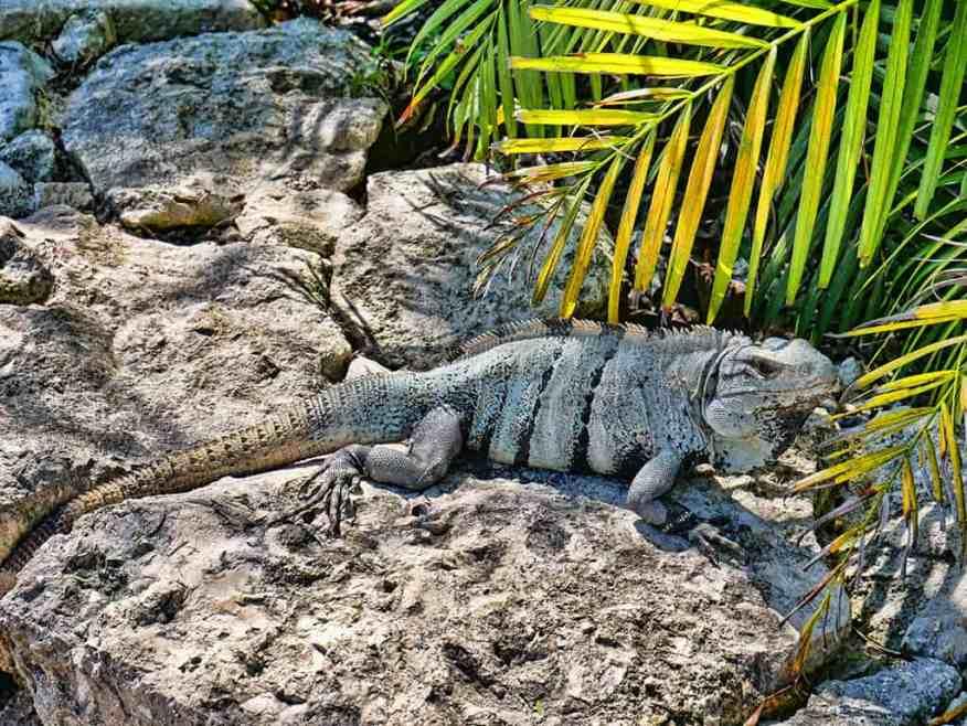iguana Mexico