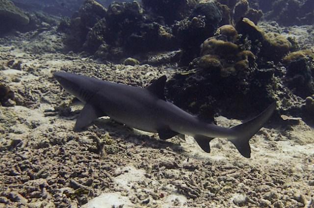 reef-shark-sipadan