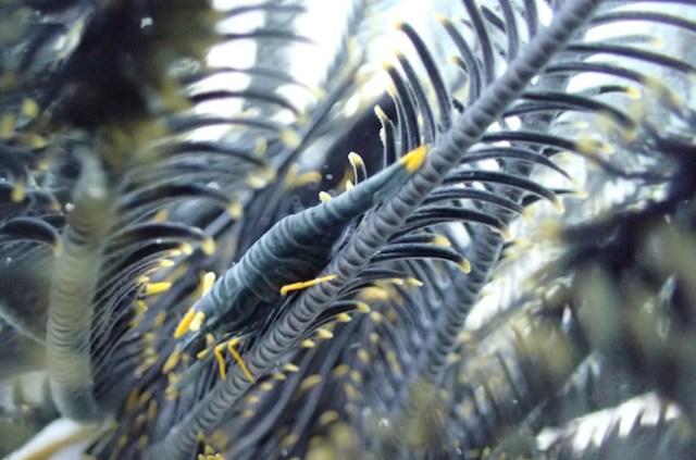 crinoid-shrimp
