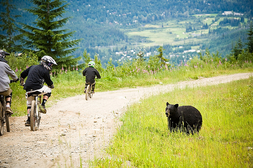 Whistler Bears and Bikes Sharing the Trails