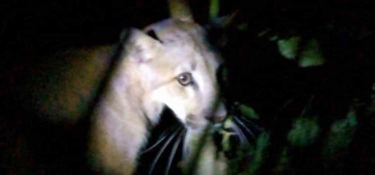 Crónica del rescate de un Puma en Tafi Viejo