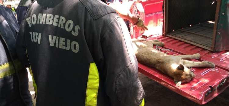 Rescatan a un puma que apareció en Los Nogales