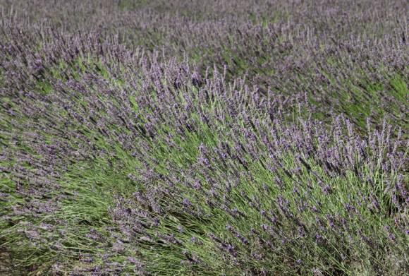 Lavender Farm St Brelade Jersey © Lavender's Blue Stuart Blakley
