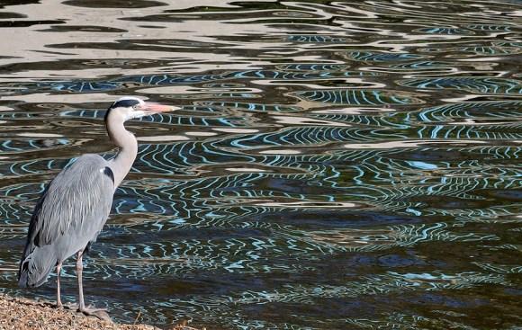 Heron St James's Park London © Lavender's Blue Stuart Blakley