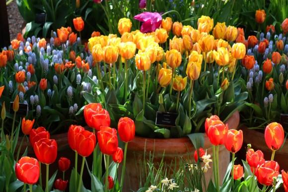 Tulips Chelsea Physic Garden London © Lavender's Blue Stuart Blakley