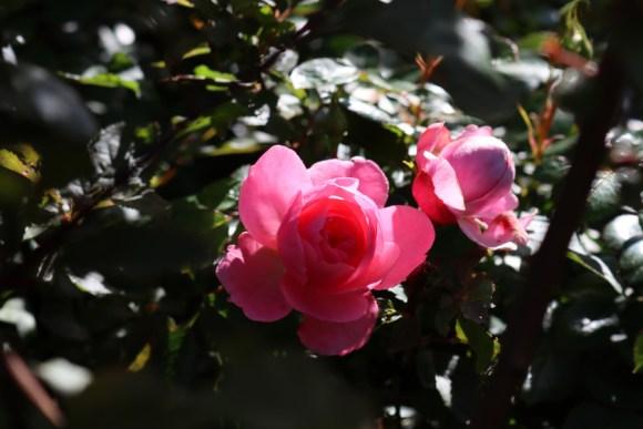 Red Rose Kennington Park London © Lavender's Blue Stuart Blakley