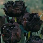 blackflower1