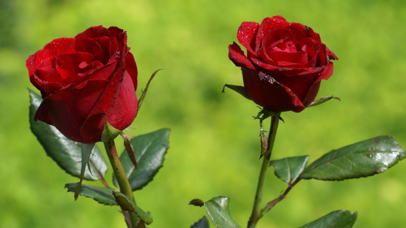 pourquoi les roses rouges coutent elles