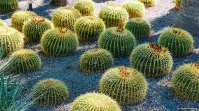 California Barrel Cacti