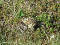 A ptarmigan chick we accidently flushed
