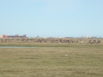 Caribou in the oilfield