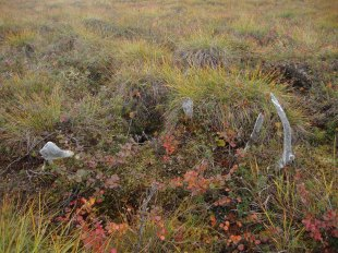Antler shed decomposing into the tundra