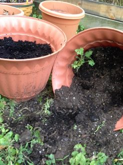 Pot of kale seedlings all knocked over by the squirrels.