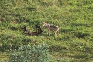 wolf on caribou kill