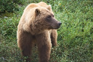 grizzly in denali eating soapberries