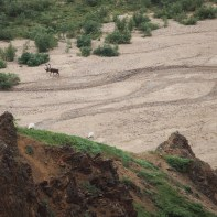 caribou in a riverbed and dall sheep walking uphill