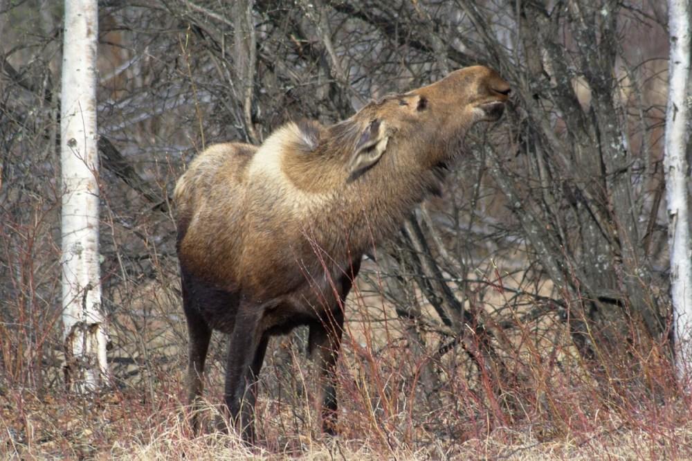 Moose along Chena Hot Springs Road