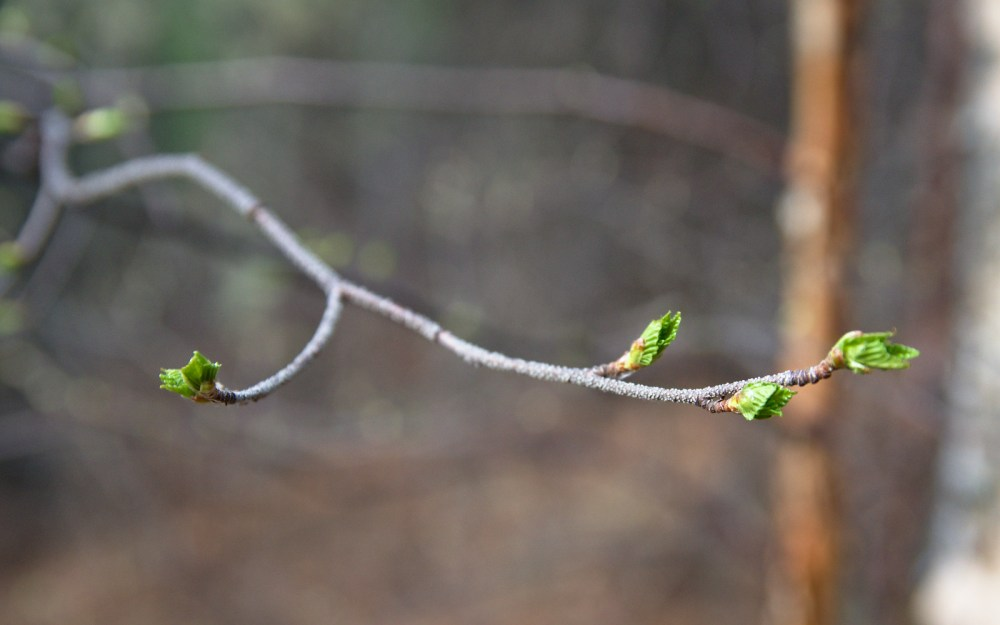 birch leaves opening