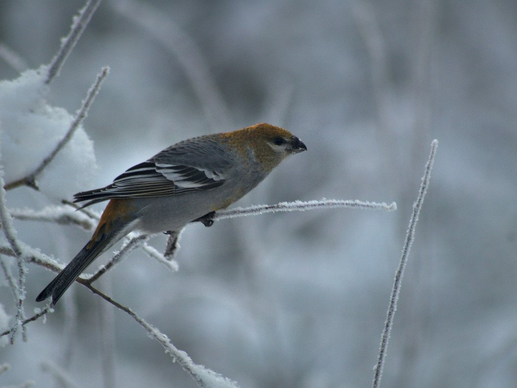 Either an immature male or female pine grosbeak