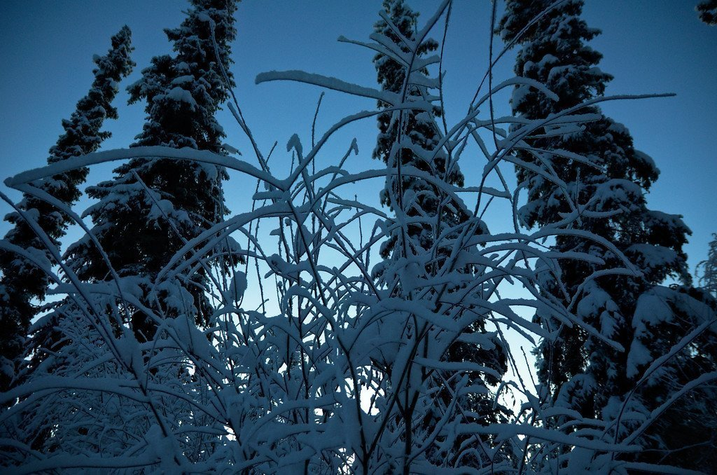 "Winter in the Alaska Interior is all about the extended ""blue hour"". We have over 3 hours of twilight on either side of the sunrise and sunset. Recent snow has been caked to all the branches."