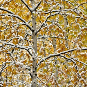 Snow on birch tree with yellow leaves