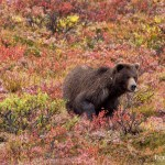 Grizzly bear in fall foliage in Denali National Park